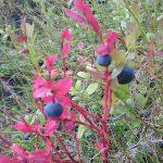 Blaubeeren an einem Busch